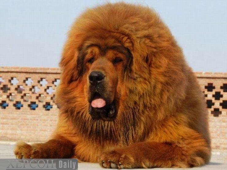 Самые дорогие породы собак в мире ...