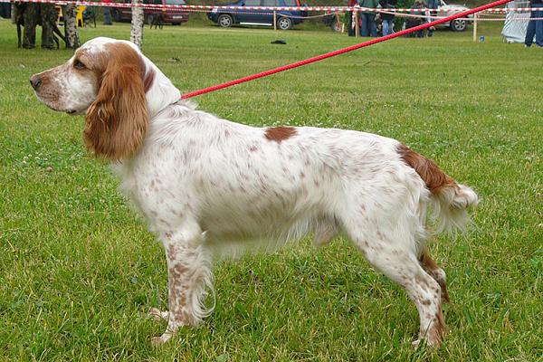 Русский охотничий спаниель описание породы собак, характеристики ...