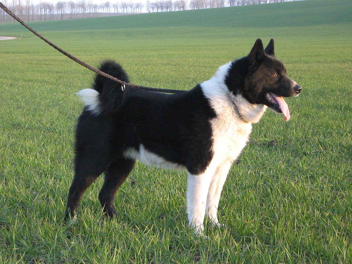 Карельская медвежья собака — Википедия