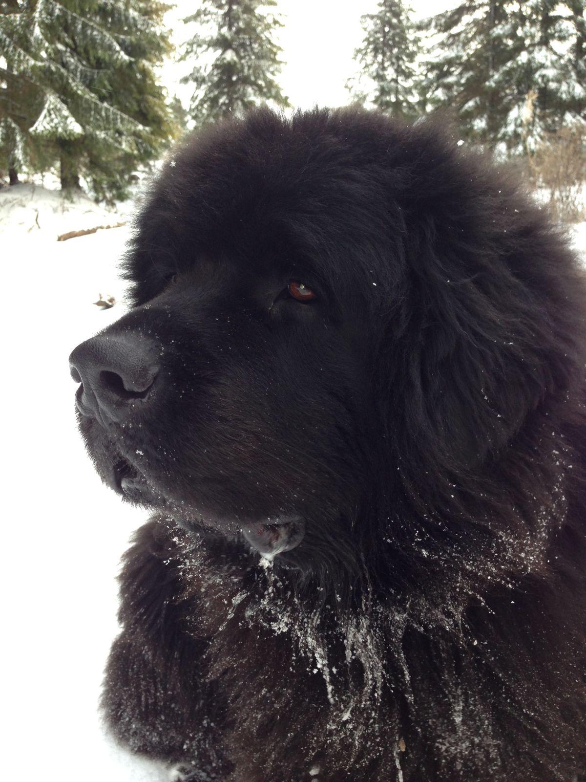 Ньюфаундленд (порода собак) — Википедия