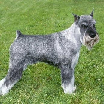 Шнауцер: фото собаки, описание породы, цена щенков и уход