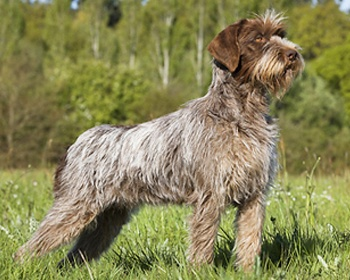 Wirehaired Pointing Griffon ...