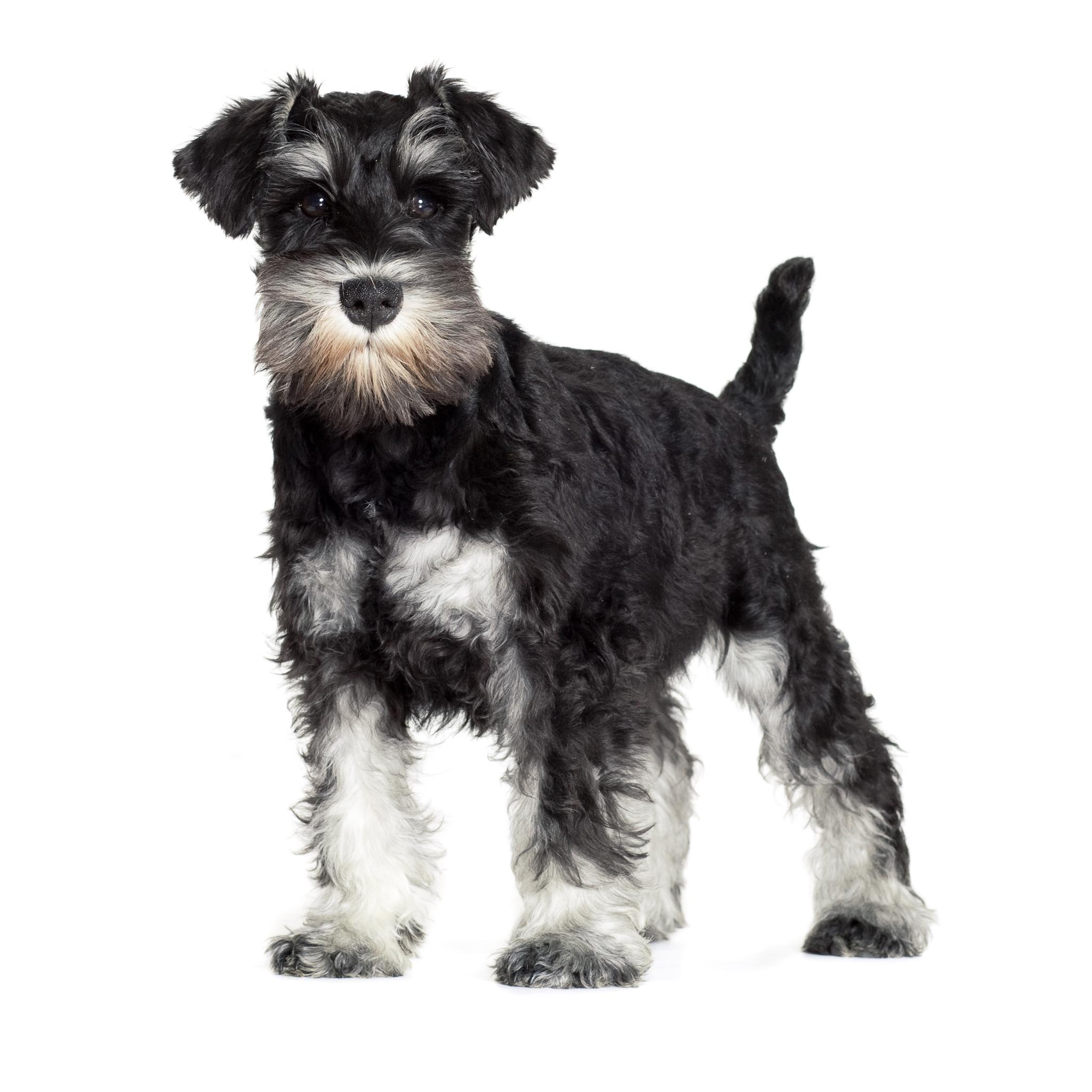 Цвергшнауцер – фото собаки, описание характера цвергшнауцера и ...