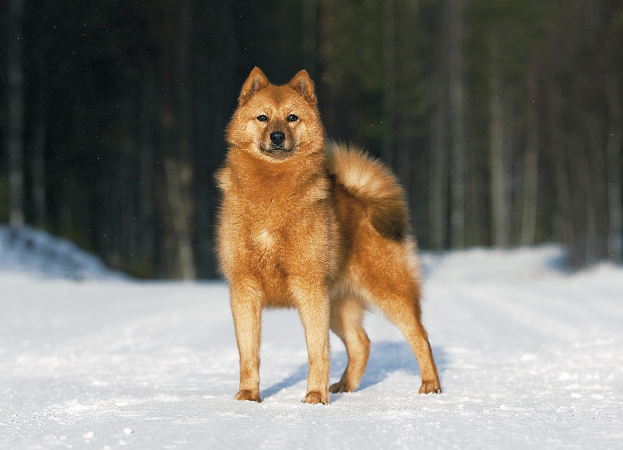 Карело-финская лайка (финский шпиц) – фото собаки, описание ...