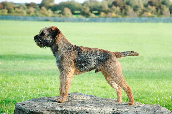 Бордер-терьер описание породы собак ...