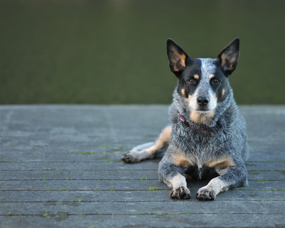 Australian Cattle Dog ...