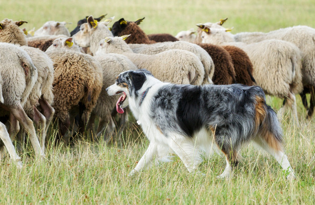 Породы пастушьих собак — Рамблер/новости