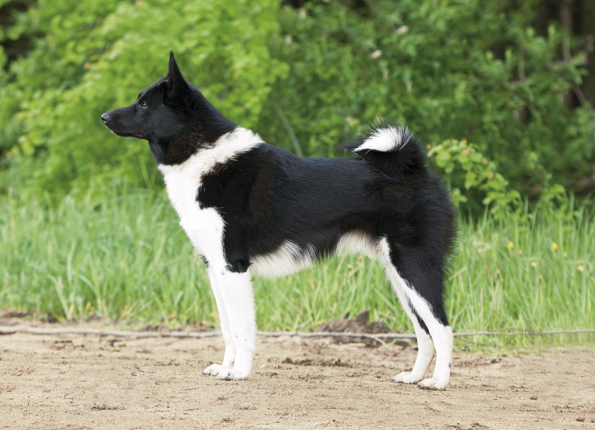 Русско-европейская лайка – фото собаки, описание характера русско ...