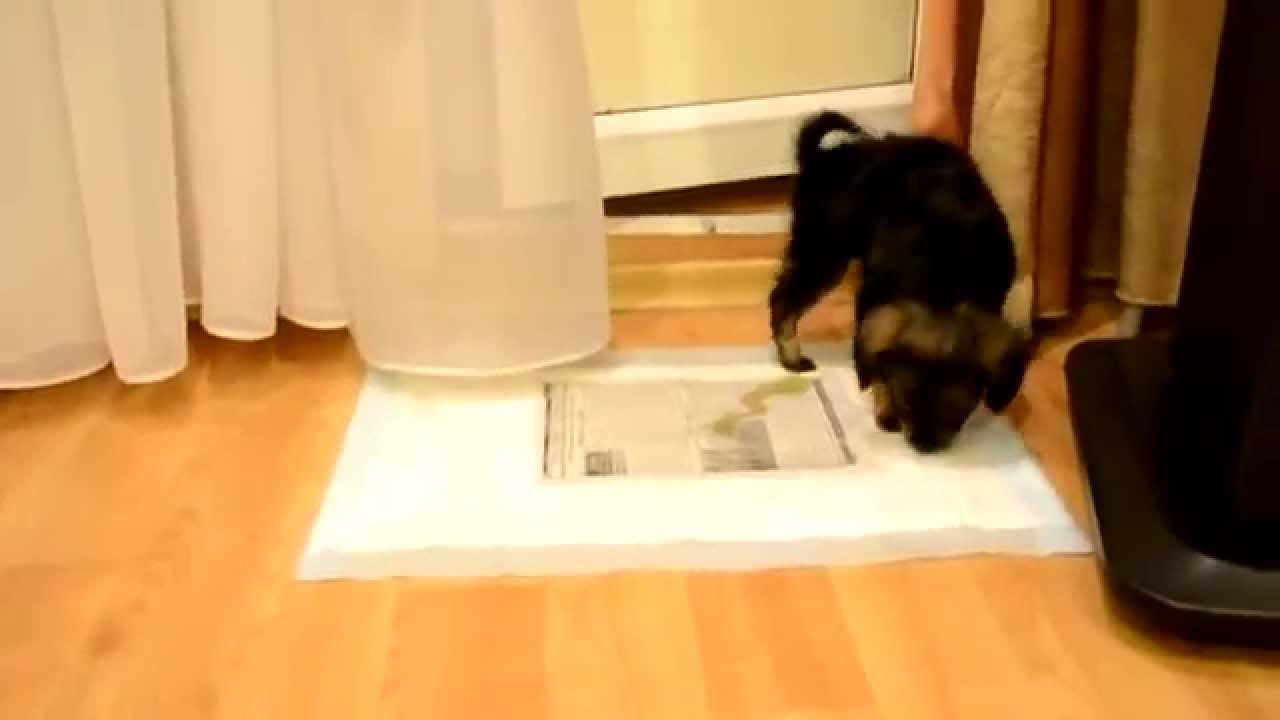 Приучение щенка к чистоплотности в ...