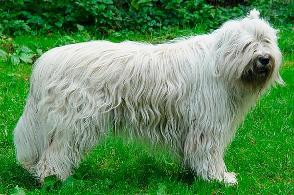 Южнорусская овчарка описание породы ...