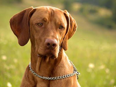 ВЕНГЕРСКАЯ ЛЕГАВАЯ - Породы собак