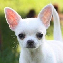 Чихуахуа: все о собаке, фото, описание ...