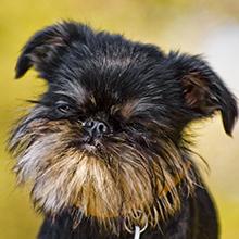 Бельгийский гриффон: все о собаке, фото, описание породы, характер ...