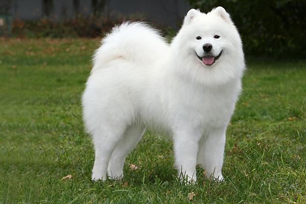 Самоедская лайка описание породы собак, характеристики, внешний ...