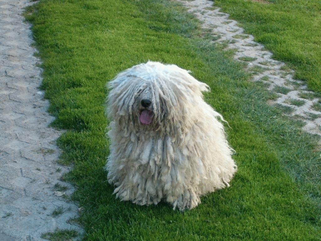 Пули: фото собаки, описание породы, цена щенков и уход