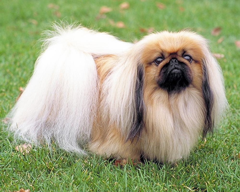 Пекинес (Pekingese) - одна из древнейших пород собак в мире ...
