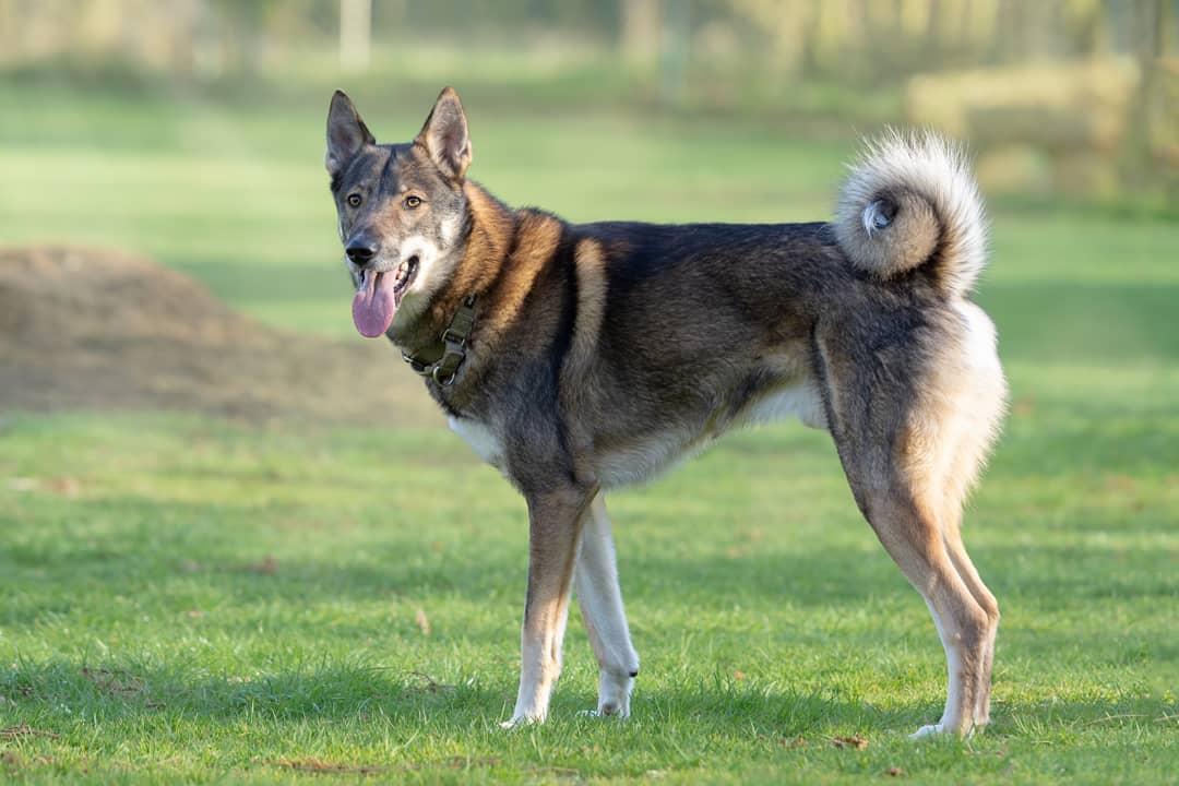 Западно-сибирская лайка: все о собаке, фото, описание породы ...