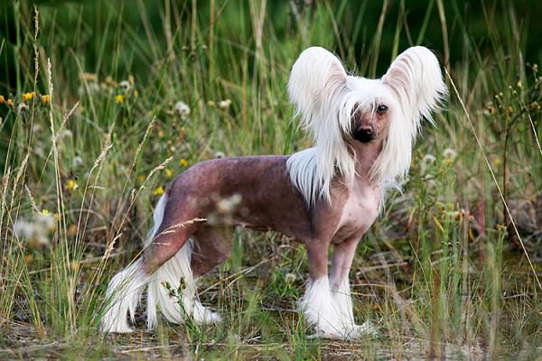 Китайская хохлатая описание породы собак, характеристики, внешний ...