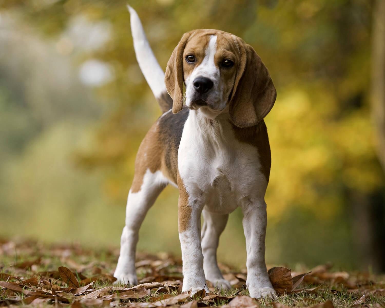 American Foxhound ...