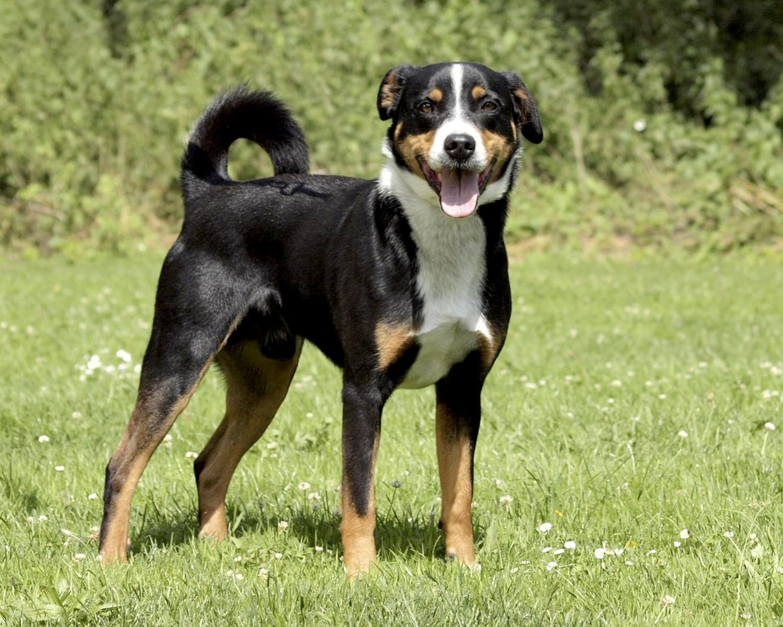 Аппенцеллер зенненхунд - очень умные и сообразительные собаки, они ...