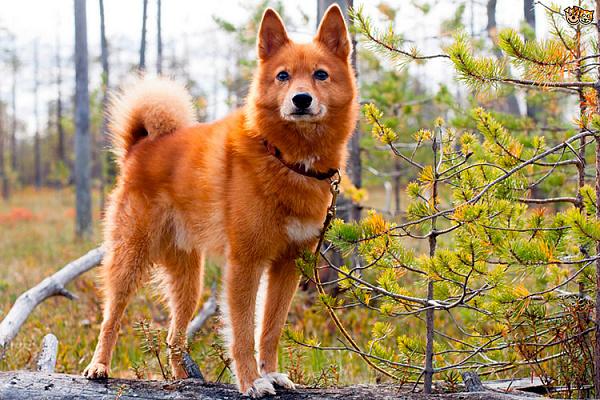 Карело-финская лайка описание породы собак, характеристики ...