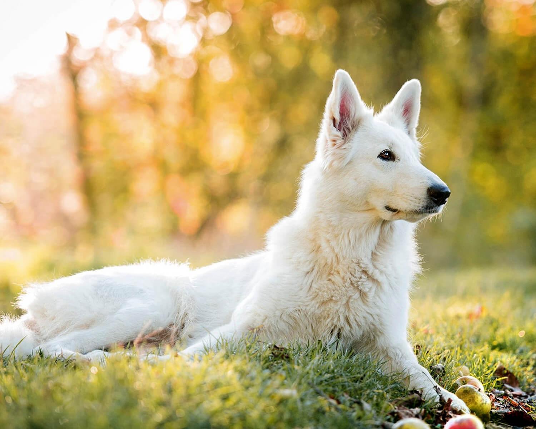 Белая швейцарская овчарка - это сильная ...