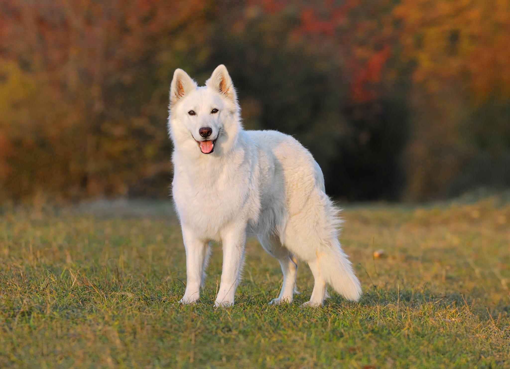 Белая швейцарская овчарка – фото собаки, описание породы и ...