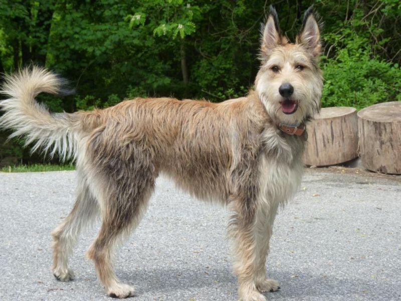 Порода собаки пикардийская овчарка: характеристики, фото, характер ...