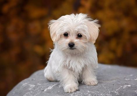Болонка описание породы, уход, фото собак