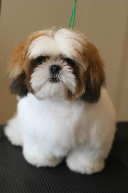 shih tzu puppy | Ши-тцу, Милые собаки ...