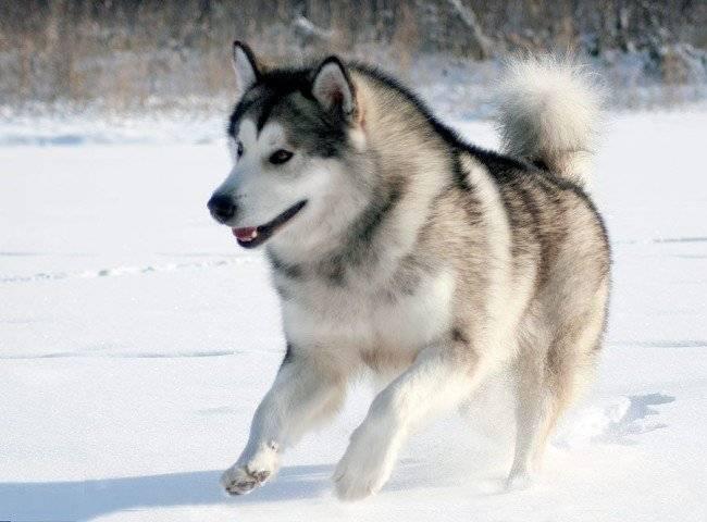 Аляскинский маламут: фото собаки, цена, описание породы, характер ...