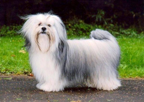 Лхаса апсо: фото собаки, цена, описание породы, характер, видео