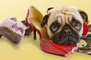 Как отучить собаку грызть вещи: причины ...