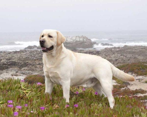 Лабрадор ретривер: фото собаки, цена ...