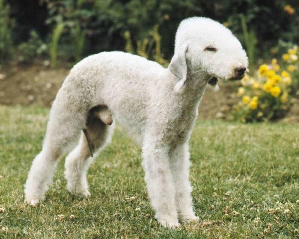 Бедлингтон терьер: фото собаки, цена, описание породы, характер, видео