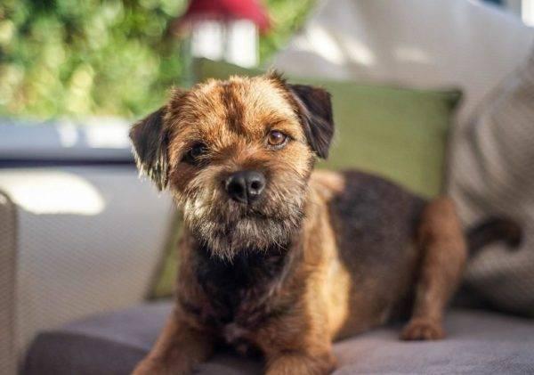 Бордер терьер: фото собаки, цена, описание породы, характер, видео