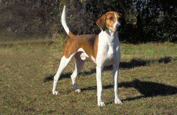 Американский фоксхаунд: фото собаки, цена, описание породы ...