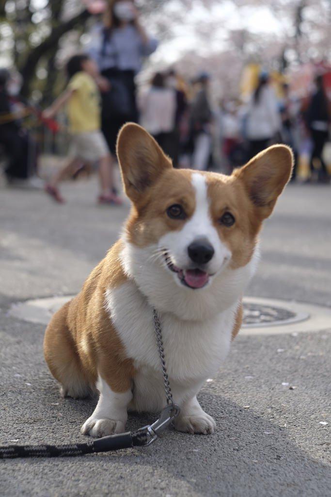 Вельш-корги пемброк: все о собаке, фото, описание породы, характер ...