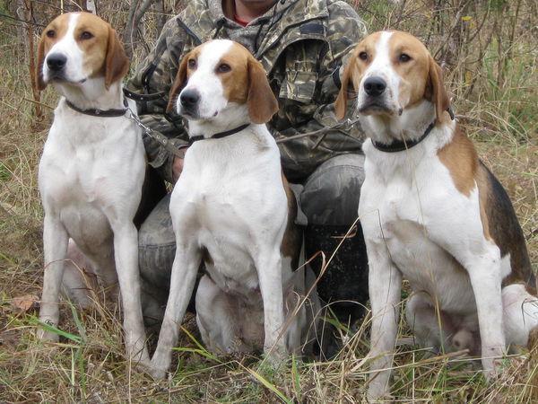 Охотничьи собаки. Какую выбрать ...
