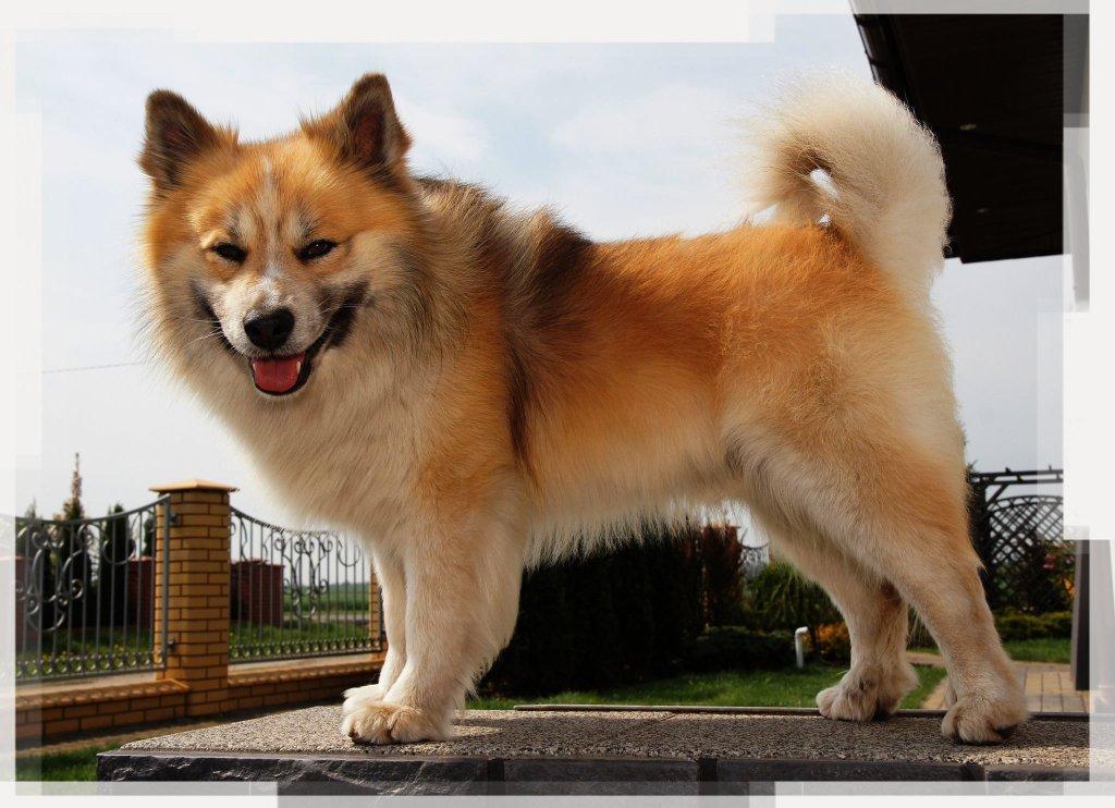 Исландская собака — Википедия