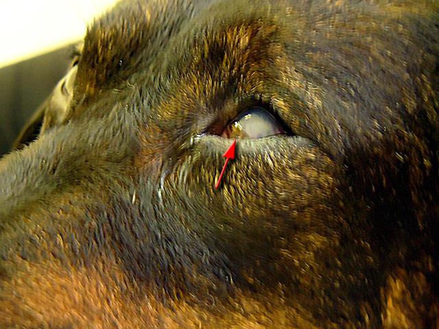 Гепатит собак инфекционный, вирусный ...