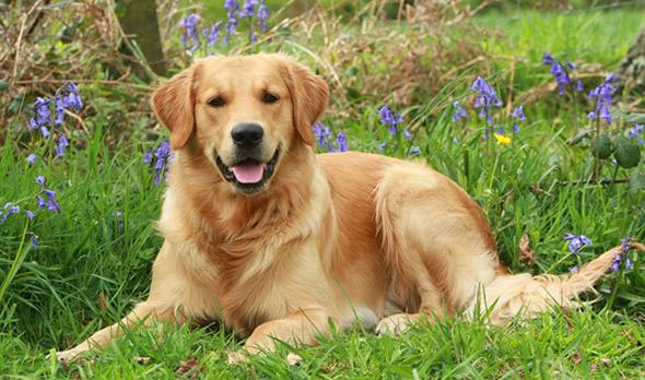 Золотистый ретривер | Собакопедия вики | Fandom