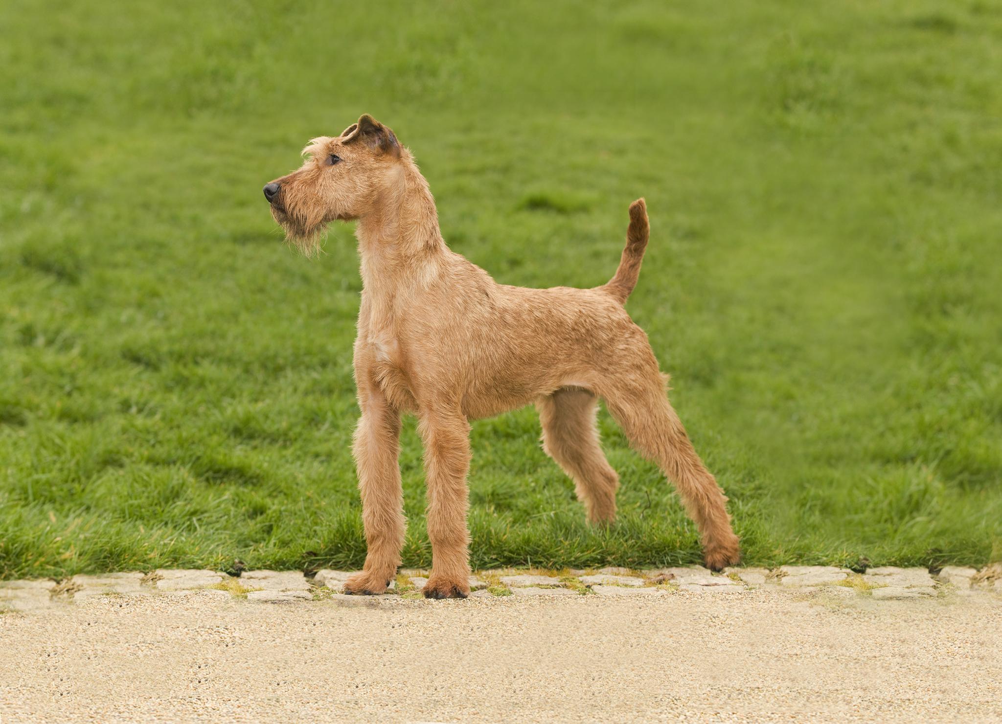 Ирландский терьер – фото собаки, описание характера ирландского ...