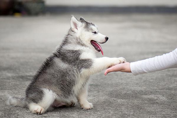 Как научить щенка команде «Дай лапу»?