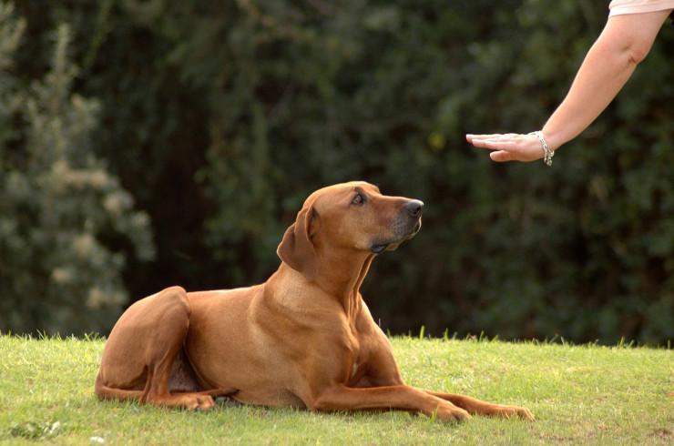 Как научить собаку основным командам в ...