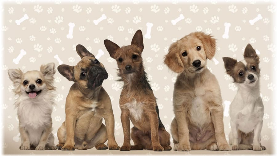 Декоративные породы собак: фото ...