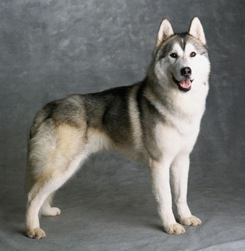 Лайка, порода собак, русско-европейская ...