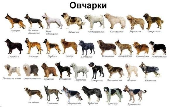 Овчарки: популярные виды породы собак с ...
