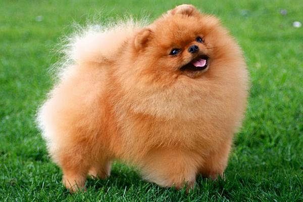 Померанский шпиц описание породы собак ...
