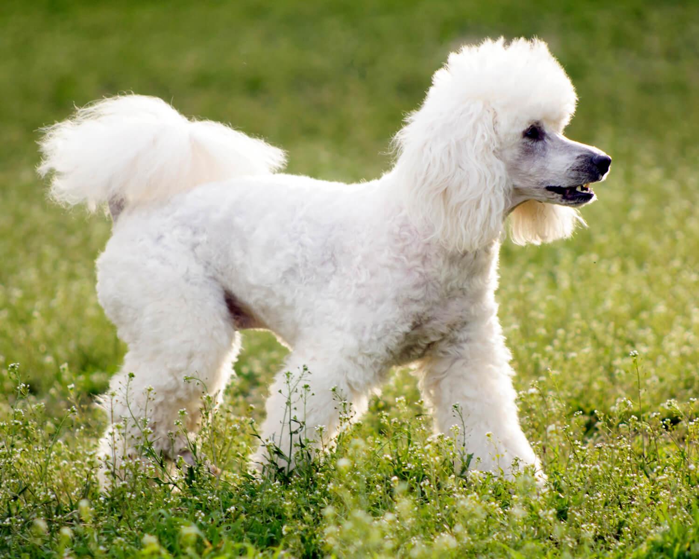 Пудель (Poodle) - элегантная, гордая, умная порода собак. Фото ...